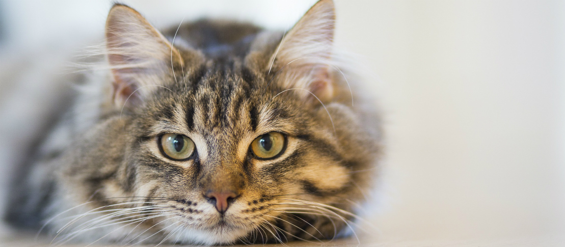 Dyrlæge | Solrød Dyreklinik | Kat