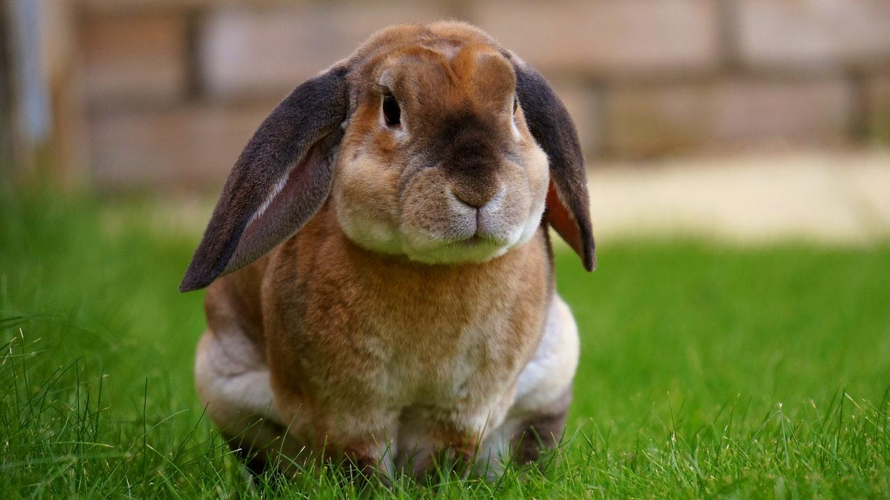 Vigtig Vaccination Af Kaniner